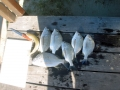 bream-and-whiting-july-10